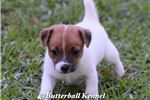 Picture of Beautiful AKC Smooth Coat Female