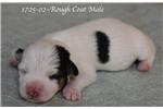 Hunt Terrier for sale