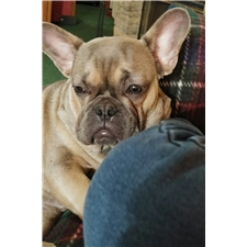 View full profile for Bestbullies Furpect Frenchies