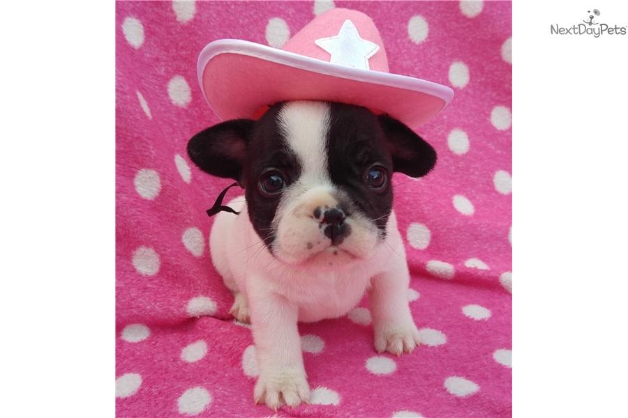 Ebony French Bulldog Puppy For Sale Near Montgomery Alabama