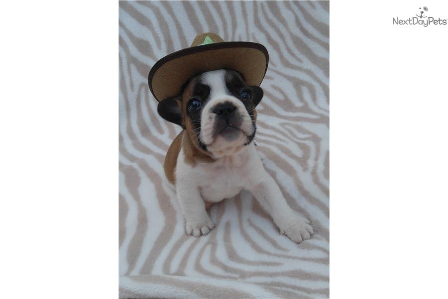 Ruddy French Bulldog Puppy For Sale Near Montgomery Alabama
