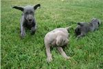 Picture of Adorable AKC Weimaraner Puppies