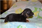 Picture of LITTLE BLACKY