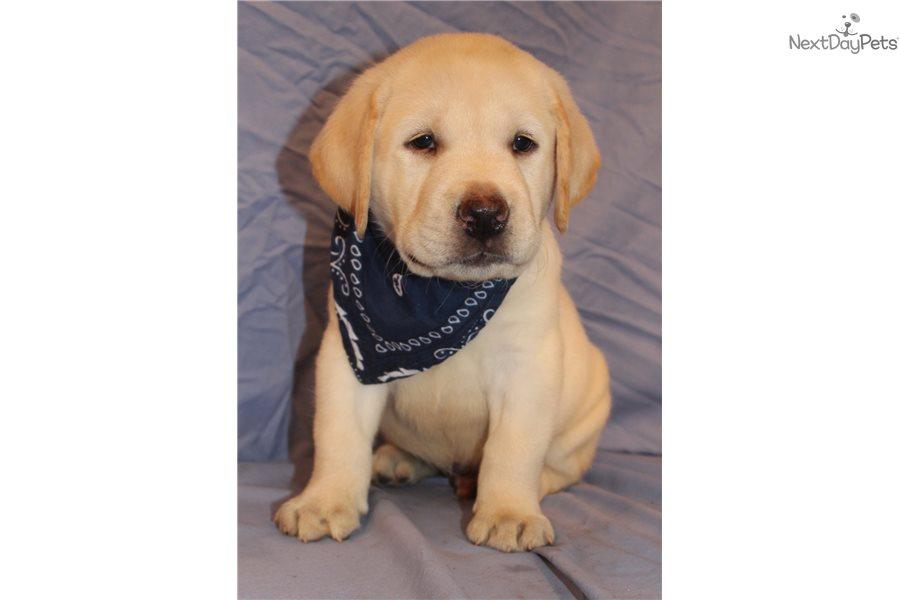 Titan Labrador Retriever Puppy For Sale Near Lafayette West