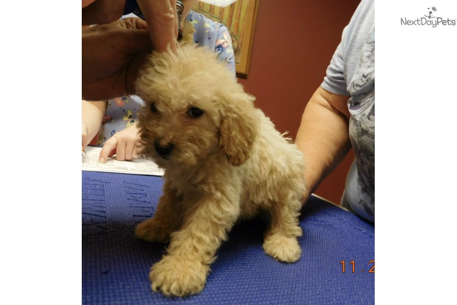 Goldendoodle Puppy For Sale Near South Bend Michiana