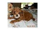 Picture of a Cavapoo Puppy