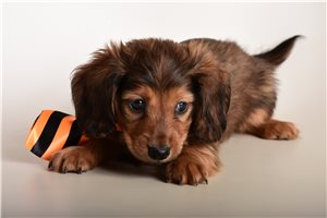 Mini Dachshunds for sale