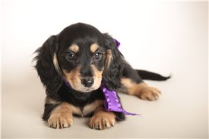 Dachshunds for sale