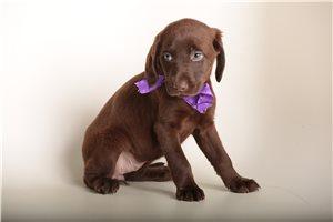 Mona - Labrador Retriever for sale