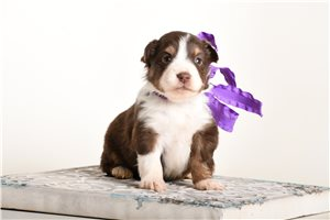 Paige - Miniature Australian Shepherd for sale