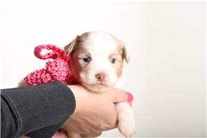 Clarice - Miniature Australian Shepherd for sale
