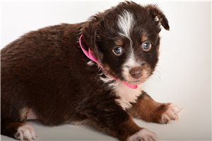 Miniature Australian Shepherd Puppies For Sale From Reputable Dog