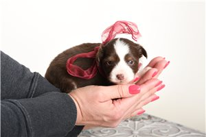 Ruby - Miniature Australian Shepherd for sale