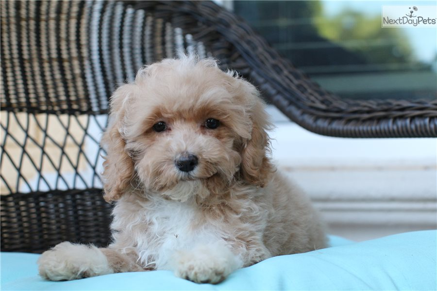 Dixie: Labradoodle puppy for sale near South Florida
