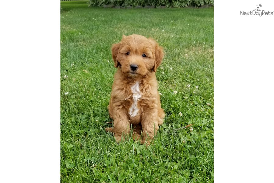 Goldendoodle puppy for sale near New York City, New York