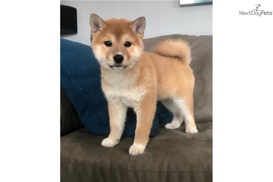 Shiba Inu Puppy For Sale Near New York City New York D4859728 6051