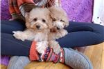 Picture of Cavapoo girl!