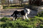 Picture of Border Collie Puppy - Missy