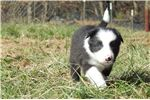 Picture of Border Collie Puppy - Bear