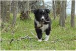 Picture of Border Collie Puppy - Pepper