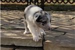 Picture of Border Collie Puppy - Lynx