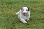 Picture of Border Collie Puppy - Brock