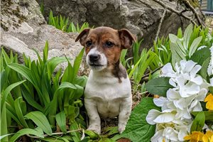 Jack Russell Terriers for sale