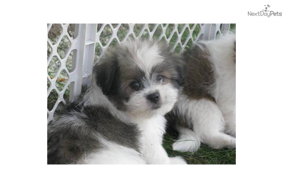 Shih Poo Shihpoo Puppy For Sale Near Kenosha Racine