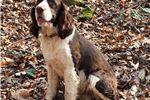 Picture of AKC English Springer