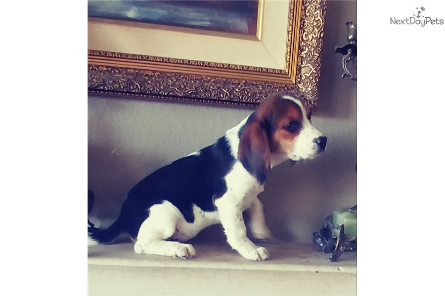 Beagle Puppy For Sale Near San Diego California F029073d 58f1