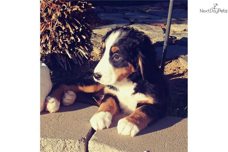 Berner Bernese Mountain Dog Puppy For Sale Near San Diego