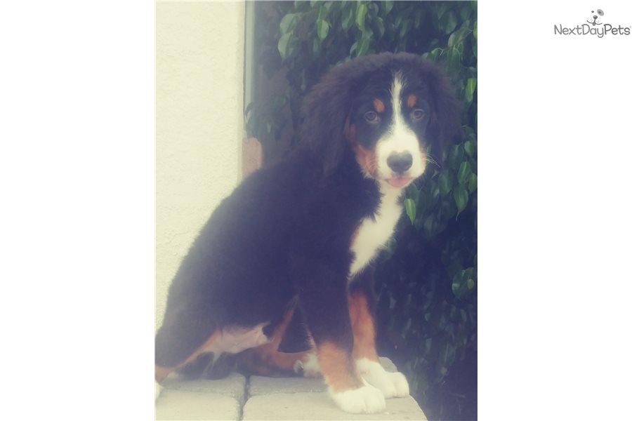 Calvin Bernese Mountain Dog Puppy For Sale Near San Diego
