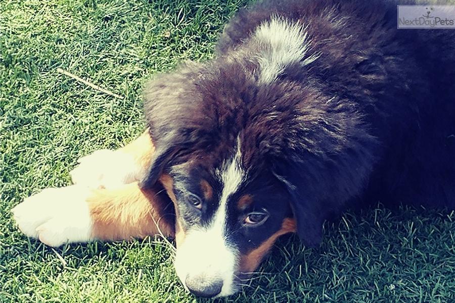 Bence Bernese Mountain Dog Puppy For Sale Near San Diego