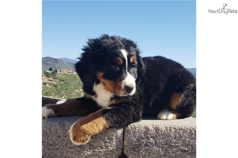 Bernese Mountain Dog Puppy For Sale Near San Diego California