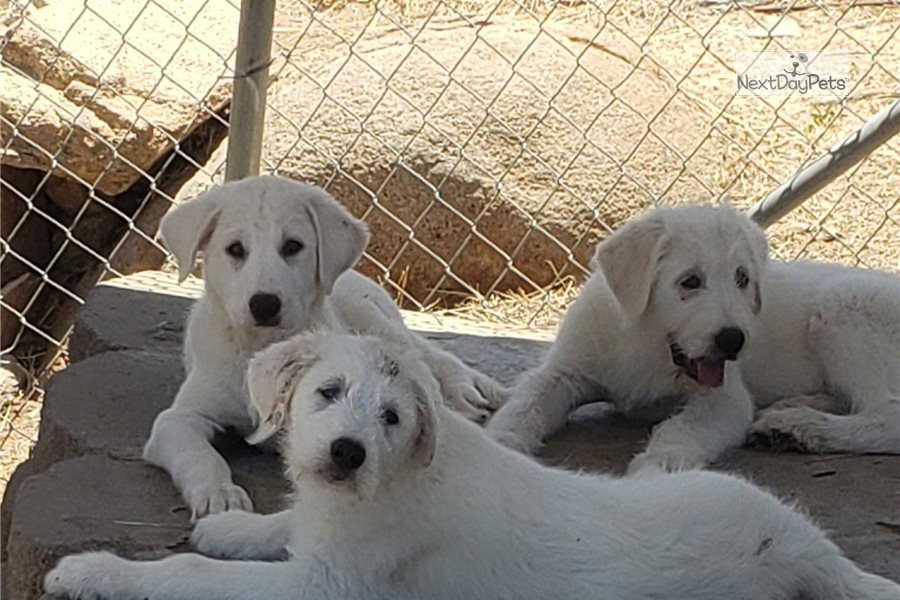 Akbash Great Pyr: Great Pyrenees puppy for sale near San ...