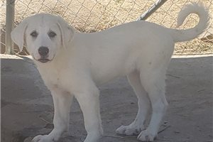 Picture of an Akbash Puppy