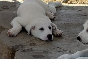 Picture of Akbash Great pyr