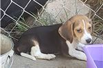 Picture of tricolored Beagle Puppy! microchipped