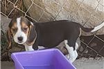 Picture of Beagle Puppy! microchipped Tricolored