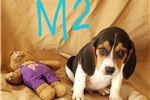 Picture of Tricolored Beagle Puppy! microchipped *vet checked