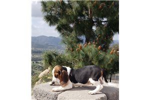 Picture of beagle