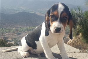 Beagliers for sale