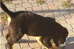 Picture of Gorgeous Bernese Mt Dog puppy! microchipped