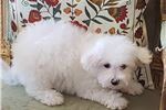 Picture of Bichon Frise Puppy! microchipped boy! vet checked