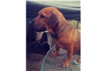 Picture of Mini Walrus Beagle/Hybrid Puppy! microchip