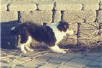 Picture of Gorgeous Collie Puppy! tricolored girl *microchip
