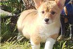 Picture of Pembroke Welsh Corgi Puppy! microchipped vet check