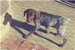Picture of german Shorthaired Pointer Puppy! microchipped