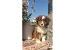 Picture of mini aussie