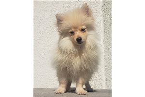 Picture of Teacup Pom